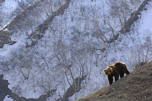 Kamchatka brown bear (Ursus arctos beringianus) on slope, Kronotsky Zapovednik, Kamchatka, Far East Russia  -  Igor Shpilenok