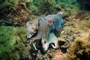 Giant cuttlefish (Sepia apama) male guarding egg-laying female. Spencer Gulf, Whyalla, South Australia  -  Georgette Douwma
