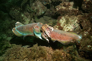 Giant cuttlefish (Sepia apama) pair mating. Spencer Gulf, Whyalla, South Australia  -  Georgette Douwma