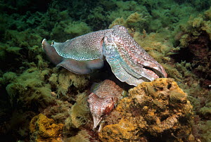 Giant cuttlefish (Sepia apama), male guarding egg-laying female. Spencer Gulf, Whyalla, South Australia  -  Georgette Douwma
