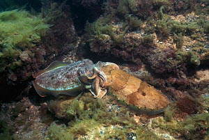 Giant cuttlefish (Sepia apama) mating. Spencer Gulf, Whyalla, South Australia  -  Georgette Douwma