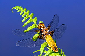 RF- Broad-bodied chaser dragonfly (Libellula depressa) on fern with veins in wings. Cornwall, UK. May. (This image may be licensed either as rights managed or royalty free.)  -  Ross Hoddinott