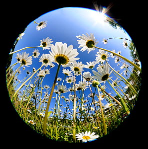 RF- Oxeye daisy (Leucanthemum vulgare) fish-eye lens. Devon, UK. June. (This image may be licensed either as rights managed or royalty free.)  -  Ross Hoddinott