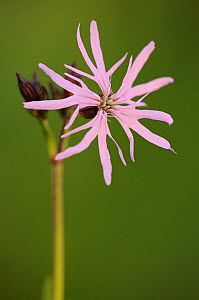 Ragged robin {Silene flos-cuculi}, Tamar Lakes, Cornwall, UK, May  -  Ross Hoddinott