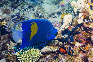 Yellowbar angelfish (Pomacanthus maculosus) amongst corals, Red Sea, Egypt  -  Georgette Douwma