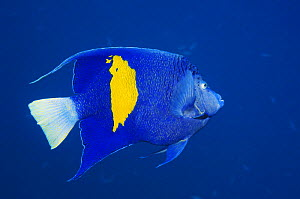 Yellowbar angelfish (Pomacanthus maculosus) against blue background. Red Sea, Egypt  -  Georgette Douwma
