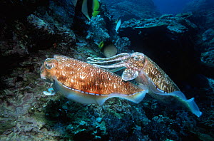 Pharaoh cuttlefish (Sepia pharaonis) male guarding egg laying female. Andaman Sea, Thailand.  -  Georgette Douwma