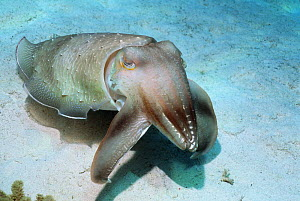 Broadclub cuttlefish (Sepia latimanus) hunting over coral rubble, using a spectacular hunting technique where rythmic bands of dark quickly pulse along body and arms. Indonesia - Georgette Douwma