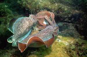 Two giant cuttlefish (Sepia apama) males in display combat over an egg-laying female. Spencer Gulf, Whyalla, South Australia  -  Georgette Douwma