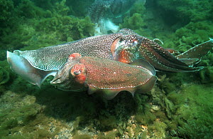 Giant cuttlefish (Sepia apama) male guarding female resting between bursts of egg-laying. A rival male is in the background. Spencer Gulf, Whyalla, South Australia  -  Georgette Douwma