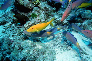 Yellowsaddle goatfish (Parupeneus cyclostomus) shoal hunting on coral reef. Andaman Sea, Thailand  -  Georgette Douwma