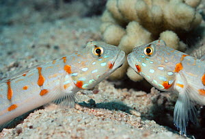 "Maiden gobies (Valenciennea puellaris) ""kissing"", Red Sea, Egypt  -  Georgette Douwma"