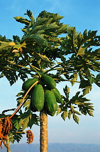 Papaya tree (Carica papaya) on the shores of Lake Malawi, Malawi, Africa  -  Georgette Douwma