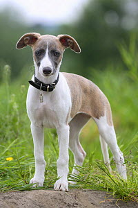 Whippet, puppy, 11 weeks, wearing collar - Petra Wegner