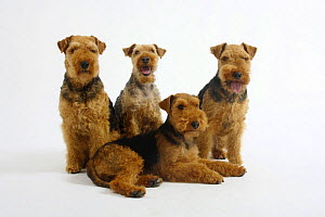 Welsh Terrier, four bitches, three sitting, one lying down - Petra Wegner