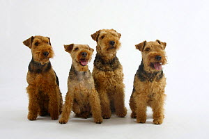 Welsh Terrier, four bitches sitting in a row - Petra Wegner