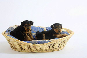 Welsh Terrier, two puppies, 7 weeks, in a dog basket - Petra Wegner