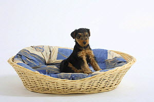 Welsh Terrier, puppy, 7 weeks, sitting in a dog basket - Petra Wegner