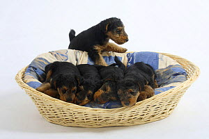 Welsh Terrier, four puppies sleeping in a dog basket, fifth puppy trying to climb in, 7 weeks - Petra Wegner