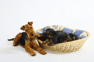 Welsh Terrier, bitch watching over her four puppies sleeping in a dog basket, 7 weeks - Petra Wegner
