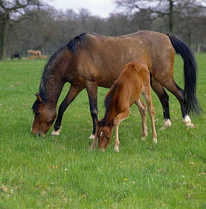 Bay mare and filly, filly bending her knees in order to reach down and sniff the grass, UK  -  Jane Burton