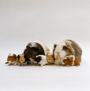 Crested sheltie guinea pig pair with five one-day babies, UK  -  Jane Burton