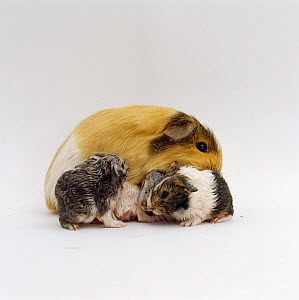 Female Shorthair cream tricolour Guinea pig licking her three newborn babies after birth to clean and dry them, UK - Jane Burton