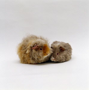 Female alpaca, longhaired rex, Guinea pig with nine-week young, UK - Jane Burton