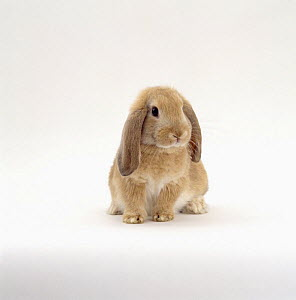 Young sandy lop-eared rabbit, nine-weeks, with drooping years  -  Jane Burton