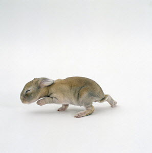 Newborn Sandy lop-eared rabbit, one-week, still blind, UK  -  Jane Burton