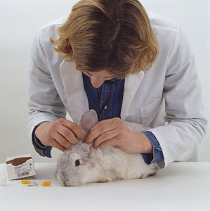 Vet looking in the ears of a young female platinum french lop-eared rabbit during a pre-vaccination check-up - Jane Burton