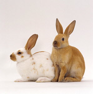 Fawn spotted and Sooty fawn rabbits, young siblings, eight-weeks  -  Jane Burton