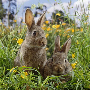 Two young European wild rabbits {Oryctolagus cuniculus} amongst Buttercups in a field - Jane Burton