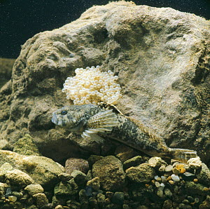 Bullhead {Cottus gobio} male guarding mass of eggs, captive, Europe  -  Jane Burton