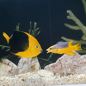 Spanish hogfish {Bodianus rufus} on right, in defense display against a Rock beauty {Holocanthus tricolor} captive  -  Jane Burton