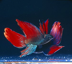 Siamese fighting fish {Betta splendens} two males in lateral display, captive, freshwater, from Malaysia and Thailand  -  Jane Burton