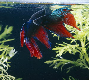 Siamese fighting fish {Betta splendens} two males displaying, captive, freshwater, from Malaysia and Thailand  -  Jane Burton