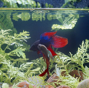 Siamese fighting fish {Betta splendens} dominant male displaying at vanquished submissive male, captive, freshwater, from Malaysia and Thailand  -  Jane Burton