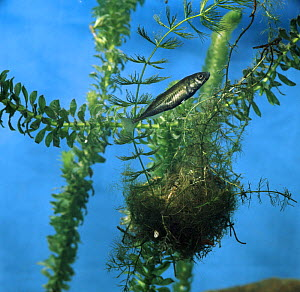 Ten-spined stickleback {Pungitius pungitius} male guarding his nest, captive, from Europe  -  Jane Burton