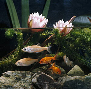Ide / Golden orfe {Leuciscus idus} and Goldfish {Carassius auratus} in pond with Waterlilies, captive, from Europe - Jane Burton