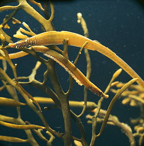 Worm pipefish {Nerophis lumbriciformis} camouflaged on brown seaweed, captive, from northern Europe - Jane Burton