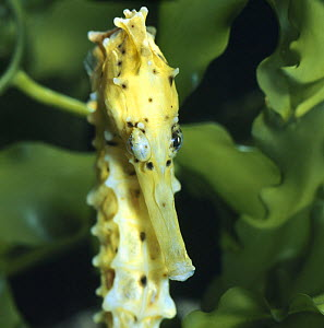 Spotted seahorse {Hippocampus kuda} head portrait with eyes rotating independantly, captive, from Indo-Pacific - Jane Burton