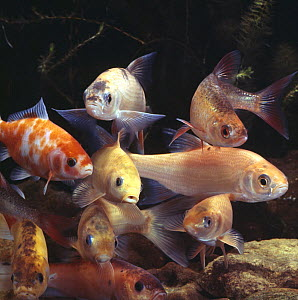 Collection of golden fish - Golden orfe / Ide {Leuciscus idus}, Golden tench,  Golden rudd {Scardinius sp}, Golden carp {Carassius sp} and Goldfish {Carssius auratus}, captive - Jane Burton
