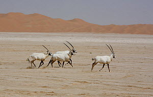 Arabian oryx {Oryx leucoryx} four, some with satellite transmitter collar, being released into the wild after captivity, Abu Dhabi  -  Hanne & Jens Eriksen