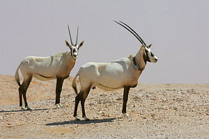 Arabian oryx {Oryx leucoryx} two, one with satelite transmitter collar, being released into the wild after captivity, Abu Dhabi  -  Hanne & Jens Eriksen