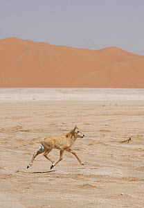 Arabian oryx {Oryx leucoryx} calf being released into the wild after captivity, Abu Dhabi  -  Hanne & Jens Eriksen