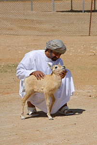 Arabian oryx {Oryx leucoryx} His Highness General Sheikh Mohammed bin Zayed Al Nahyan, Crown Prince of Abu Dhabi, holding a calf before releasing it into the wild after captivity, Abu Dhabi  -  Hanne & Jens Eriksen