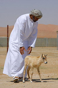 Arabian oryx {Oryx leucoryx} His Highness General Sheikh Mohammed bin Zayed Al Nahyan, Crown Prince of Abu Dhabi, with a calf before releasing it into the wild after captivity, Abu Dhabi  -  Hanne & Jens Eriksen