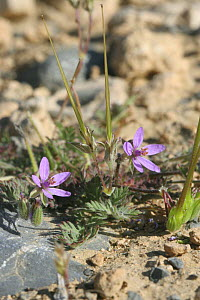 Geranium {Erodium neuradifolium} flowers in bloom in desert, Musandam, Oman  -  Hanne & Jens Eriksen