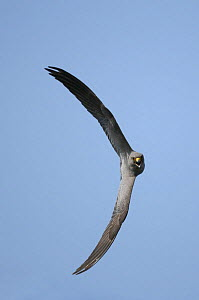 Sooty falcon {Falco concolor} turning in flight and calling, Ras as Sawadi, Oman.  -  Hanne & Jens Eriksen